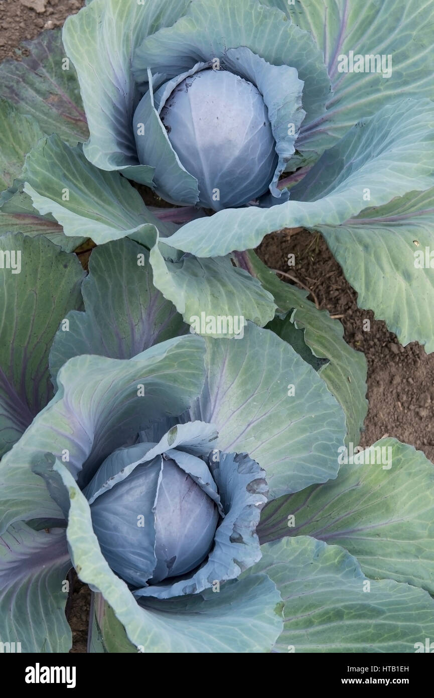 Red cabbage, farm garden of the family of mountain, , Rotkohl, Bauerngarten der Familie Berges, Elsten - Stock Image
