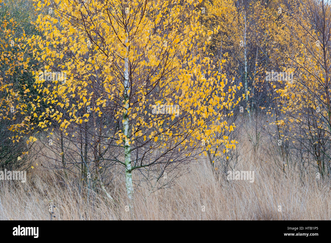 Autumnal birch in the moor, Herbstliche Birke im Moor Stock Photo