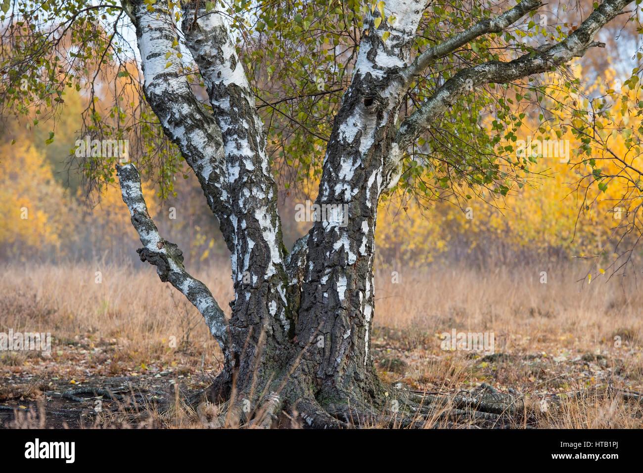 Autumnal birch in the moor, Herbstliche Birke im Moor Stock Photo