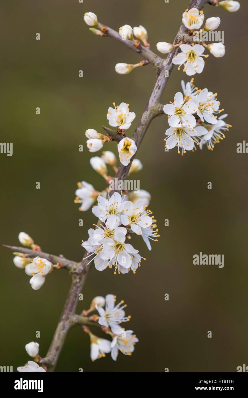 Blossoming Schlehen, branch, blossom, Bluehende Schlehen, Zweig, Bluete - Stock Image