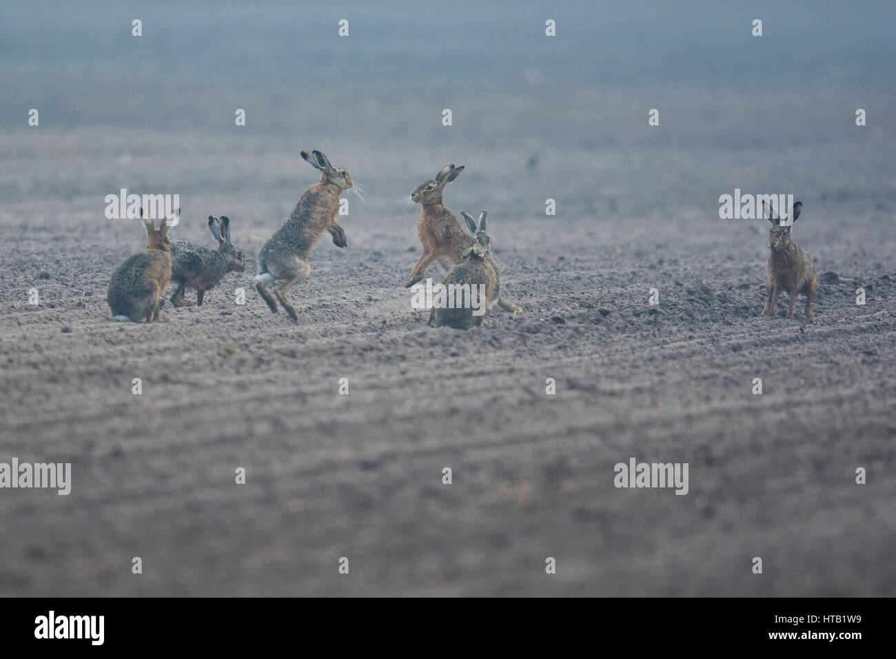 Hares, Hasen Stock Photo