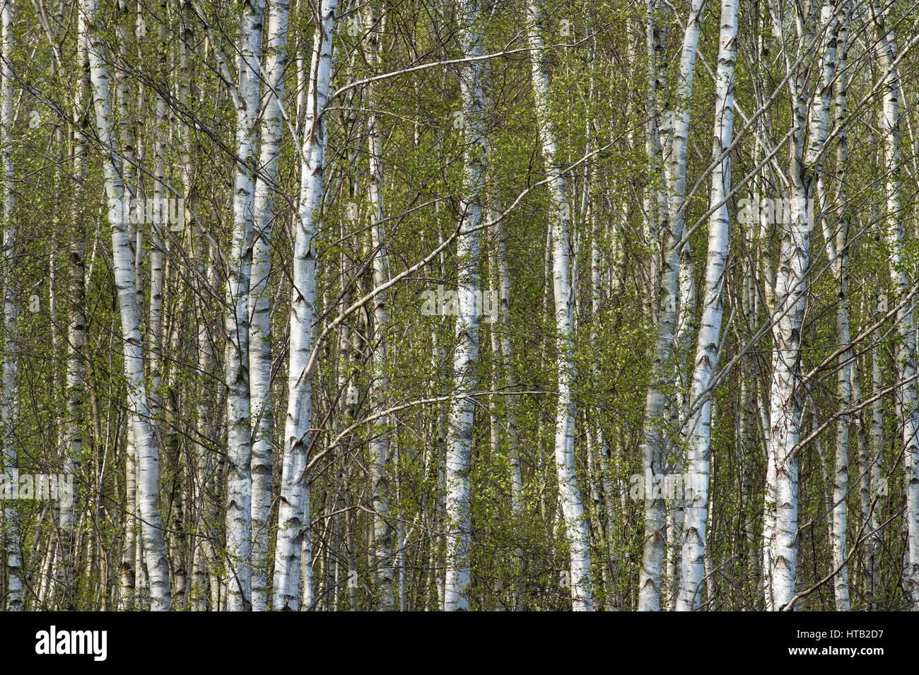 Birch forest in the moor, Birkenwald im Moor Stock Photo
