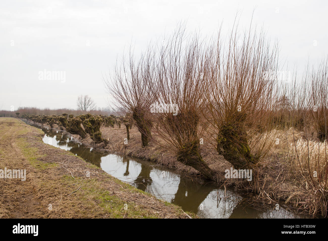 Netherlands Landscape with pruned pollard willows in early spring - Stock Image