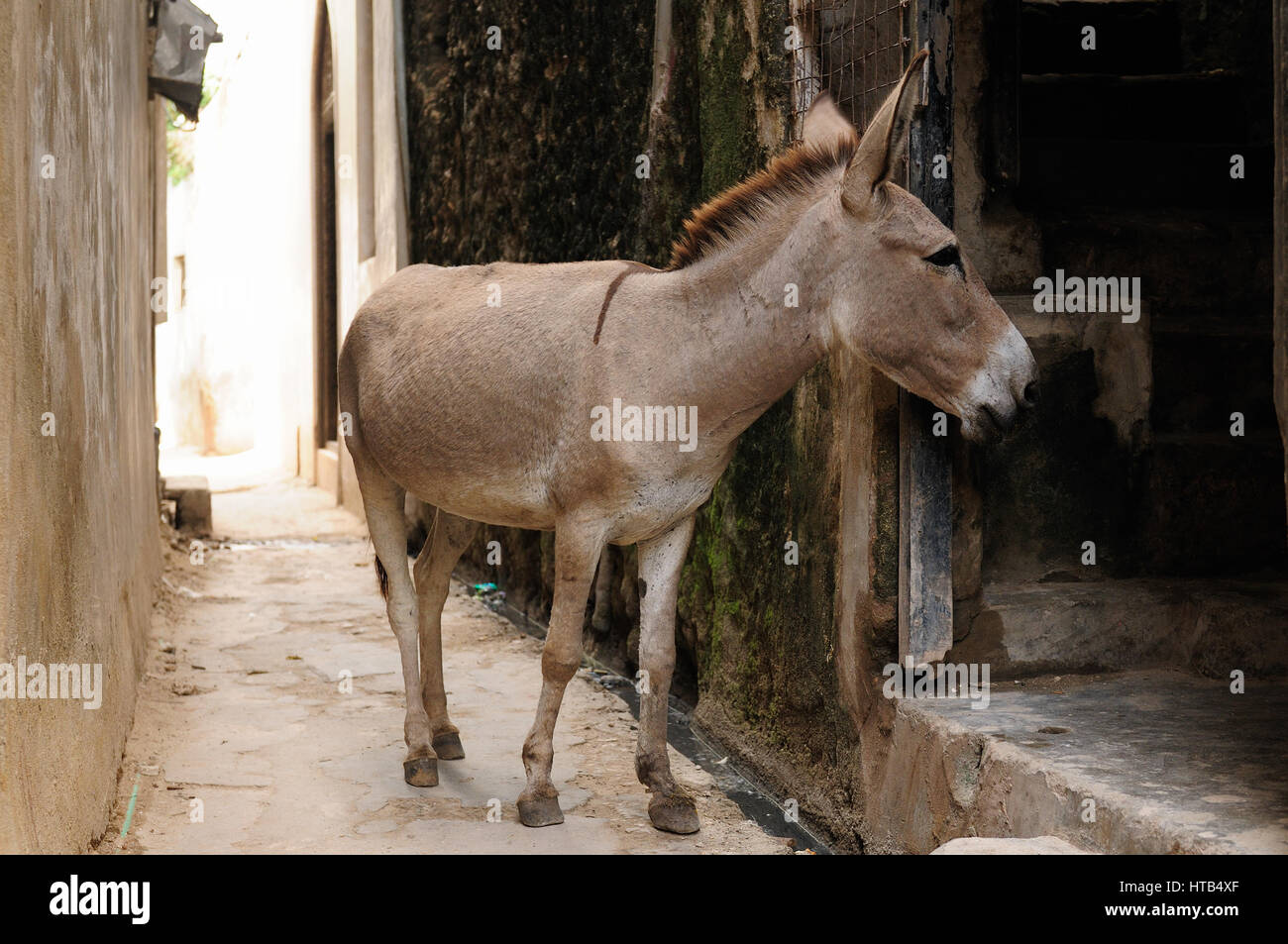 Donkey being used for a transportation of goods on the Lamu archipelago standing by the wall of the house in the Stock Photo
