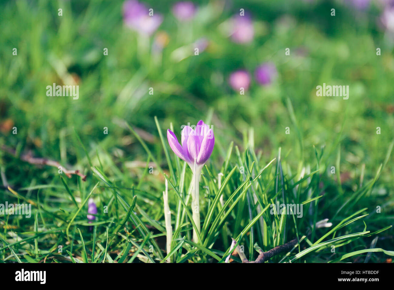 Green Grass And One Of The First Spring Flowers Crocus In A Garden