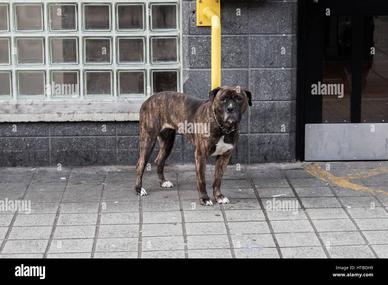 Black and brown dog looking at me - Stock Image