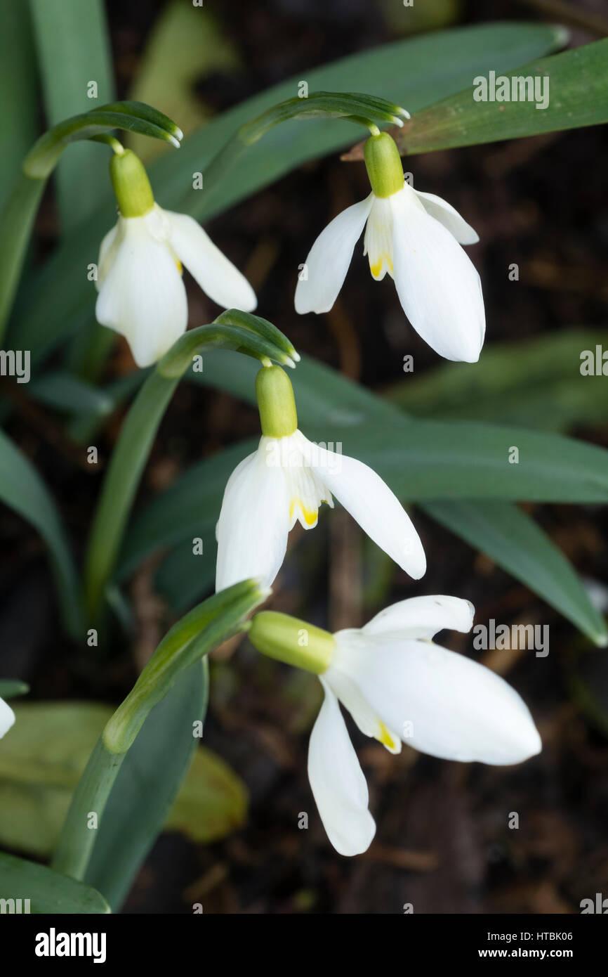 Faint yellow markings distinguish this rare, late winter flowering snowdrop, Galanthus nivalis 'Peroxide Blonde' - Stock Image