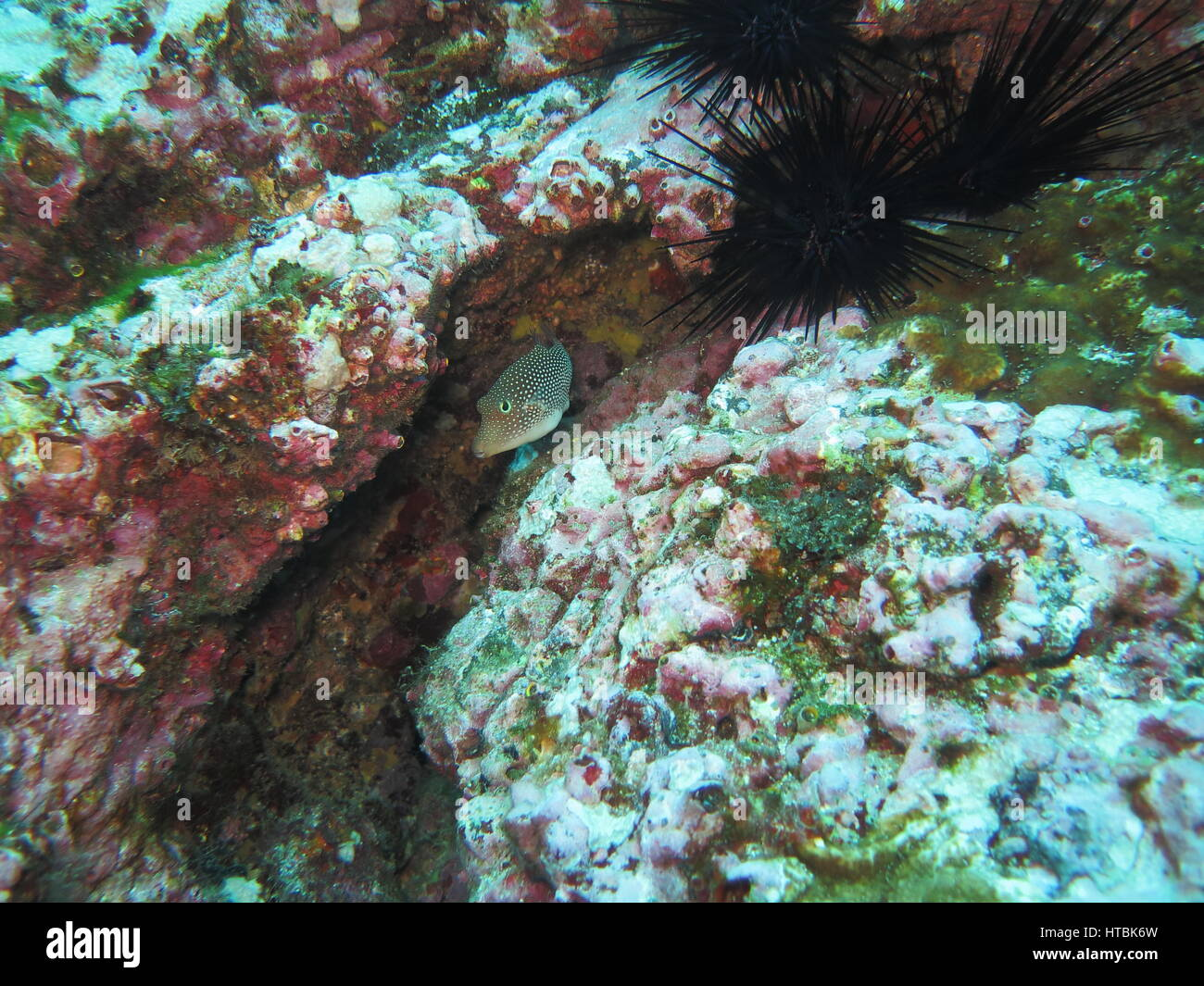 Spotted sharpnose puffer ( Canthigaster punctatissima ) hiding between rocks, Cocos island Stock Photo