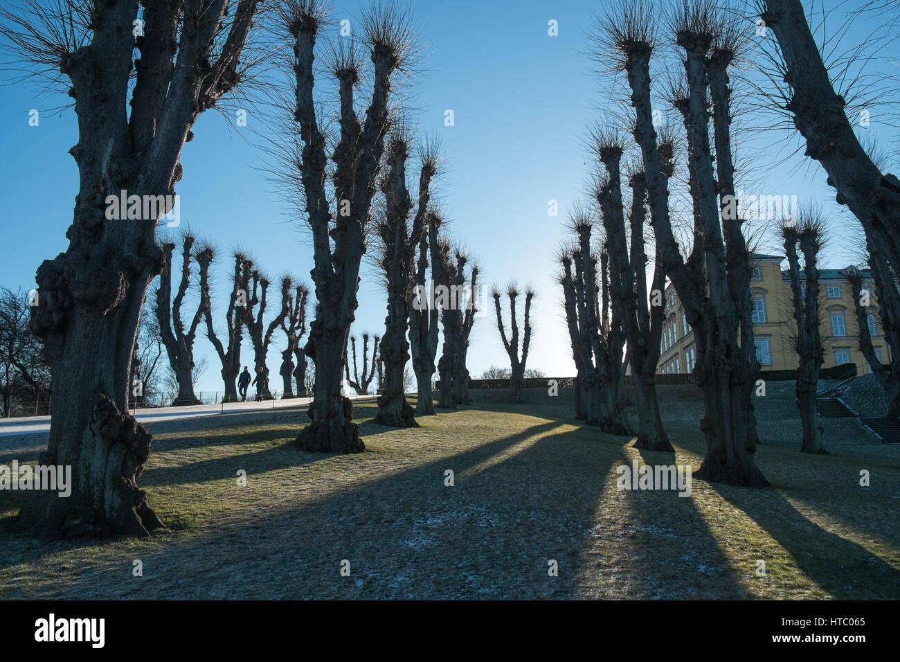 Line of plane trees in the winter against a blue sky in Frederiksberg Gardens, Copenhagen, Denmark - Stock Image