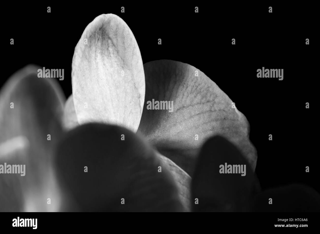 flowers purity - Stock Image
