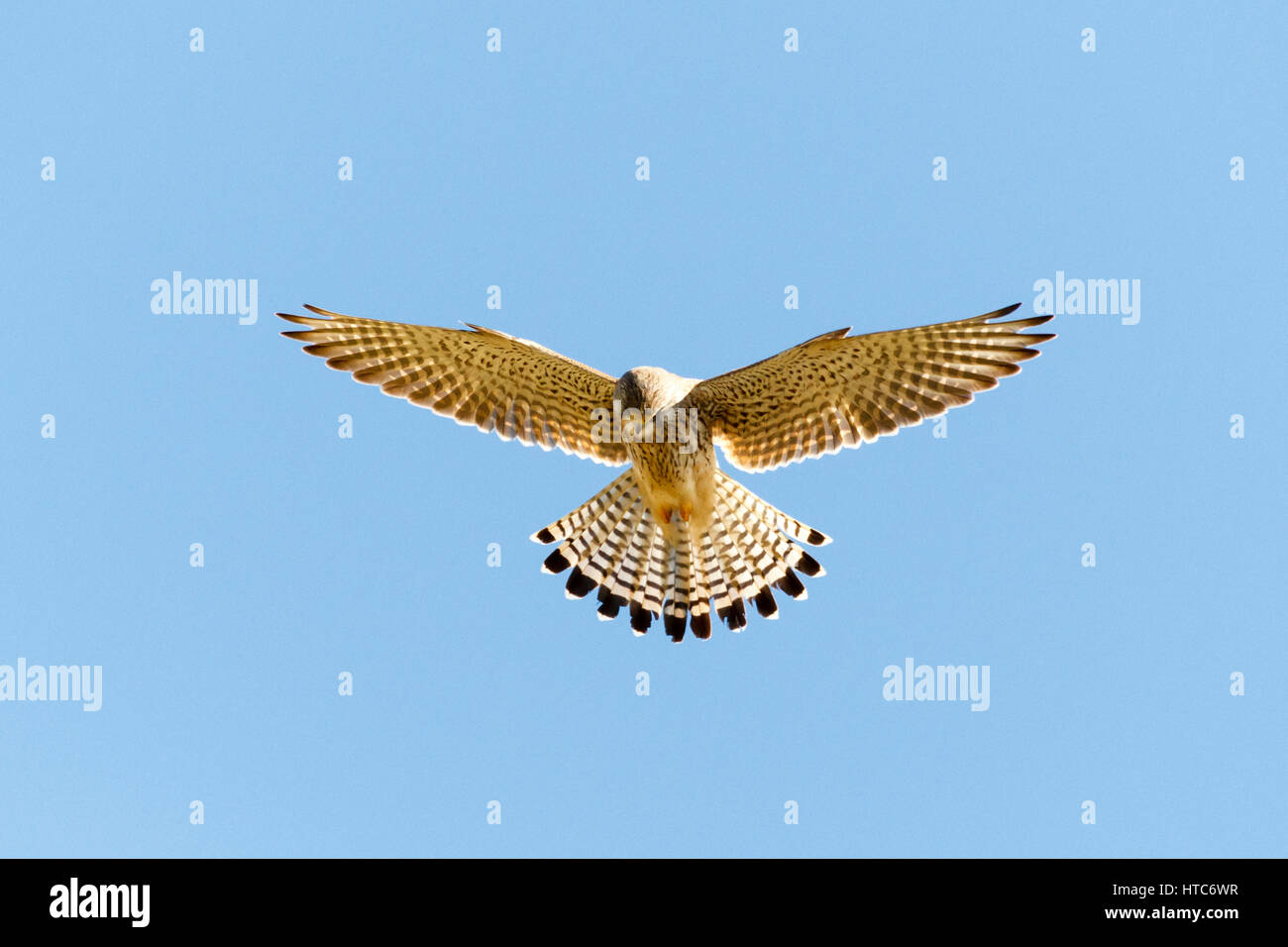A Common kestrel (Falco tinnunculus) hovers mid flight as it hunts over fields in East Sussex,UK - Stock Image