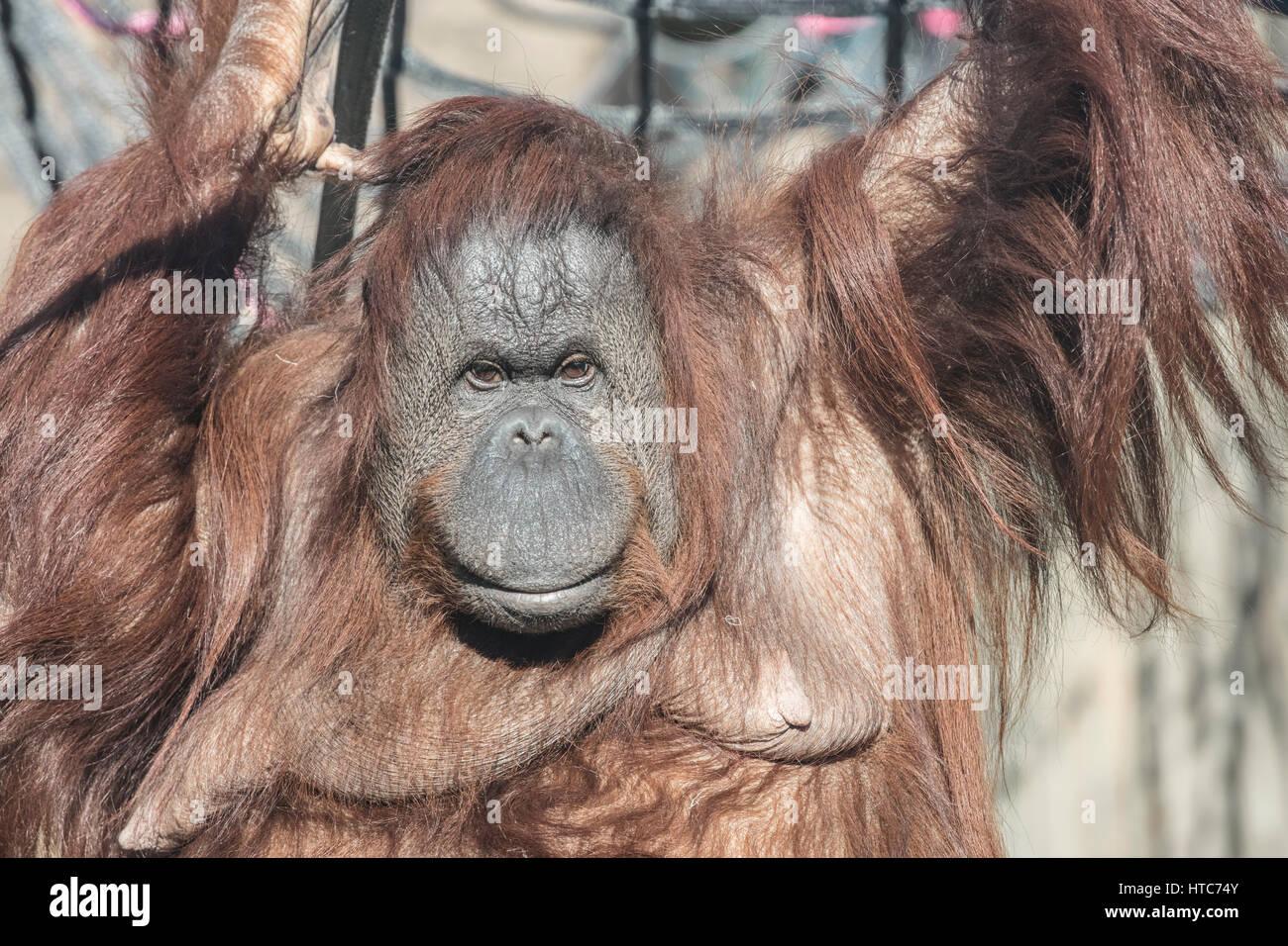 Orangutan, Tywcross Zoo, Leicestershire - Stock Image
