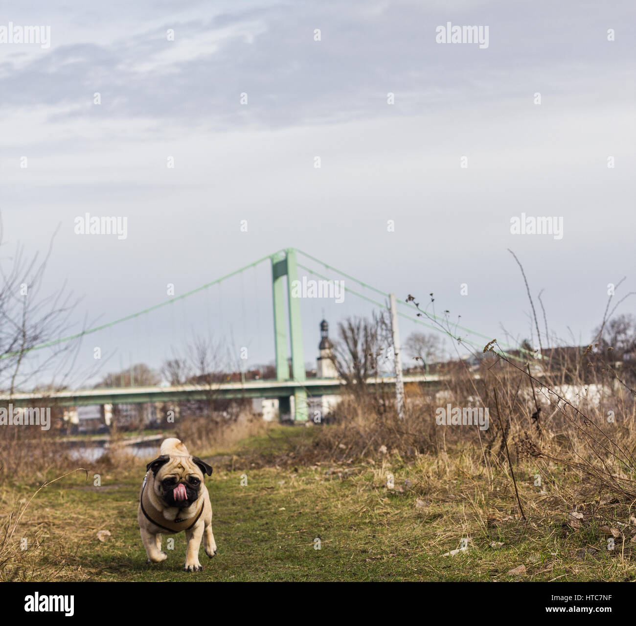 A pug dog walks to his loving owner alongside the Rhine River in Cologne, Germany - Stock Image