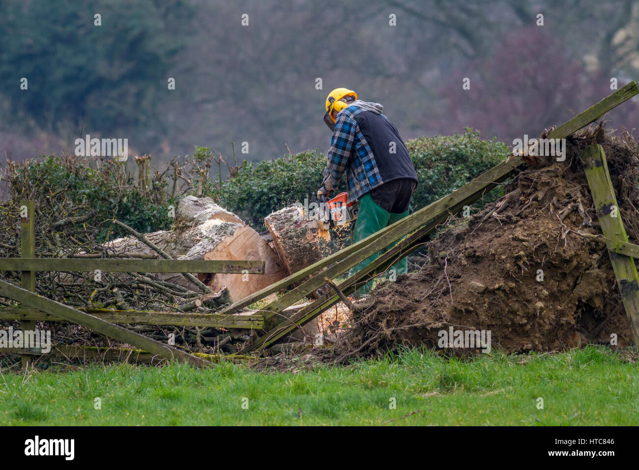 Tree surgeon using a chainsaw to remove a fallen tree following gales in storms, West Yorkshire, England, UK - Stock Image