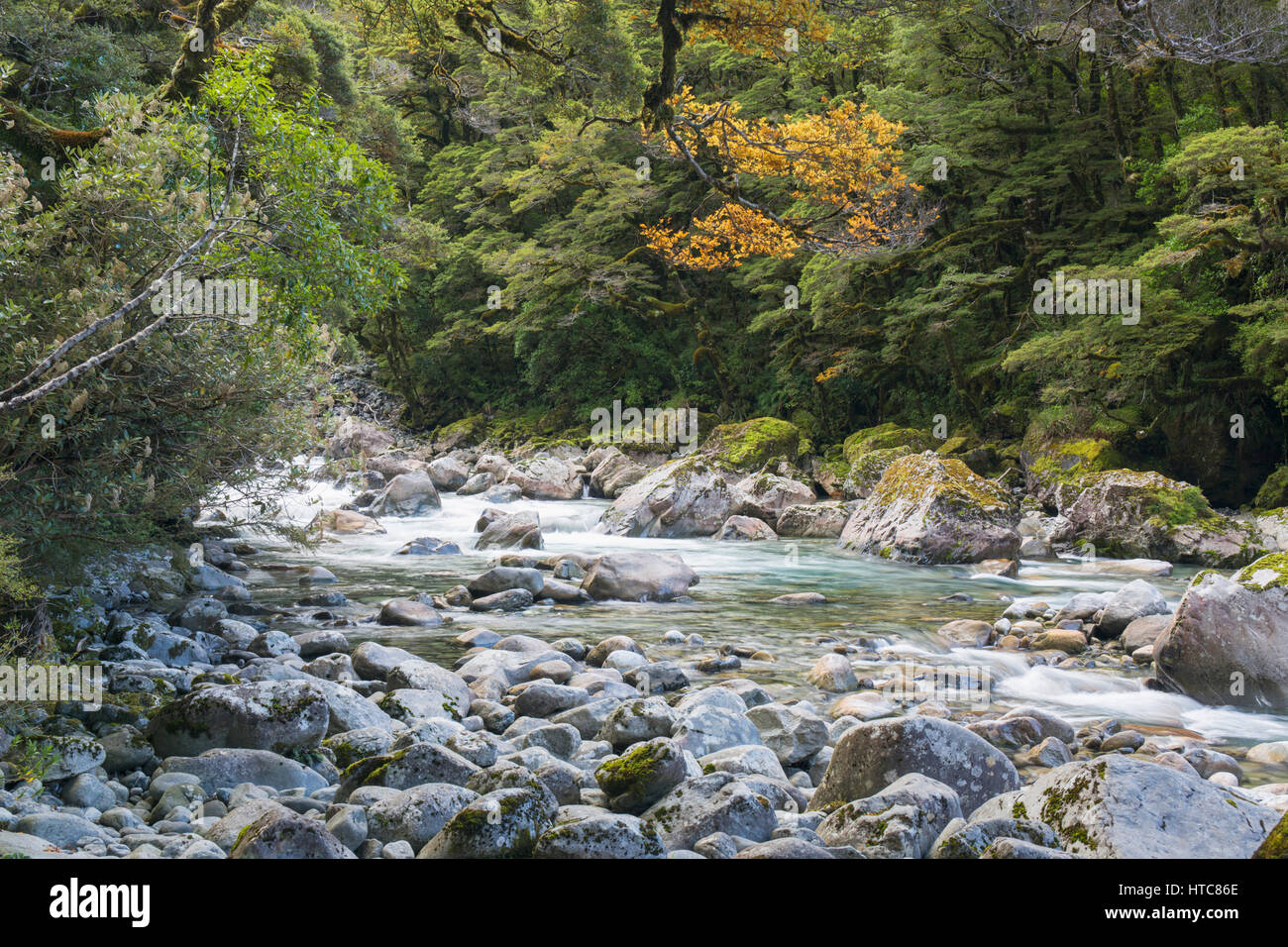 Hollyford Valley, Fiordland National Park, Southland, New Zealand. The Hollyford River flowing through native beech Stock Photo
