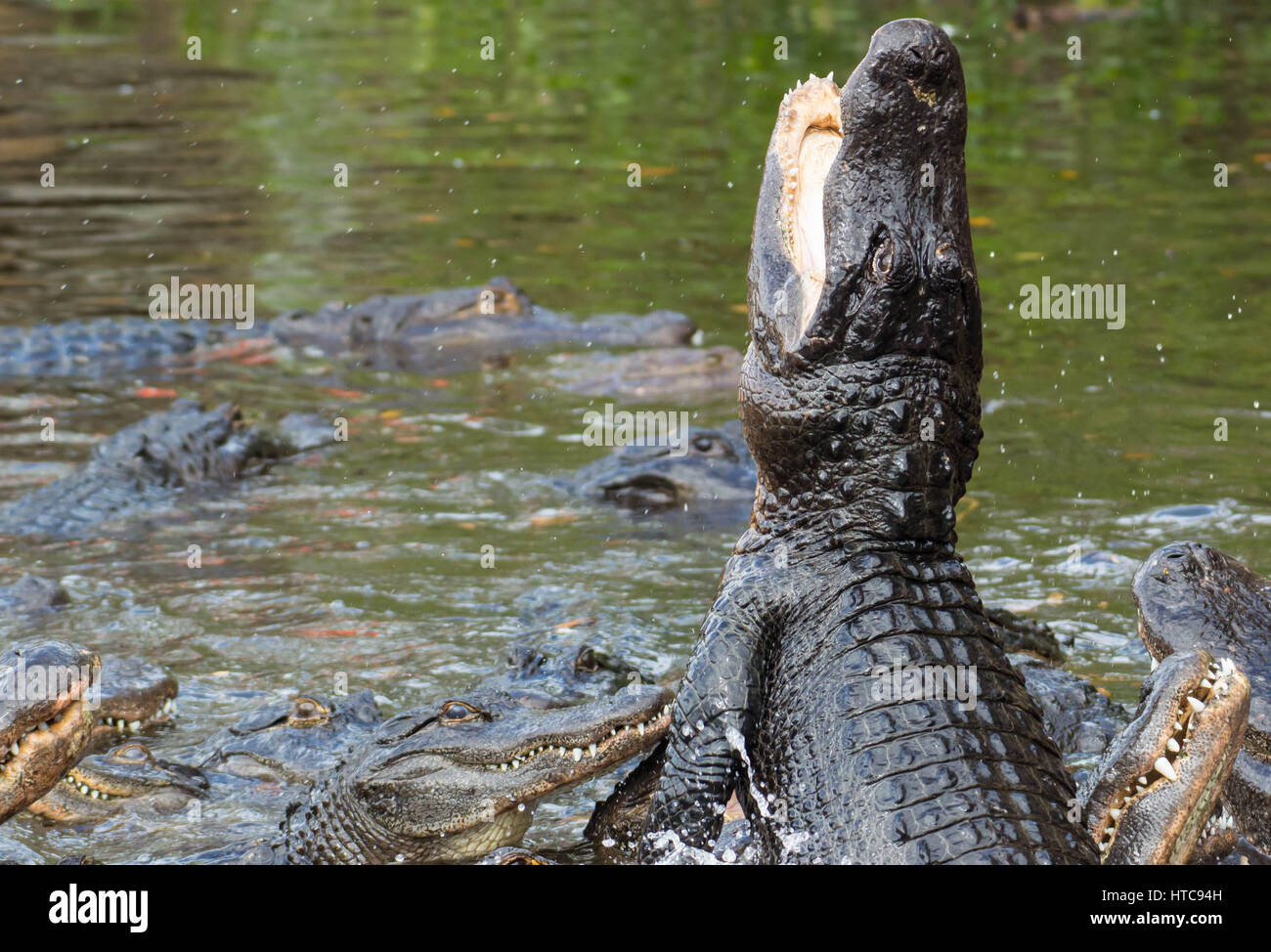 Leaping Feeding Hungry Alligator - Stock Image