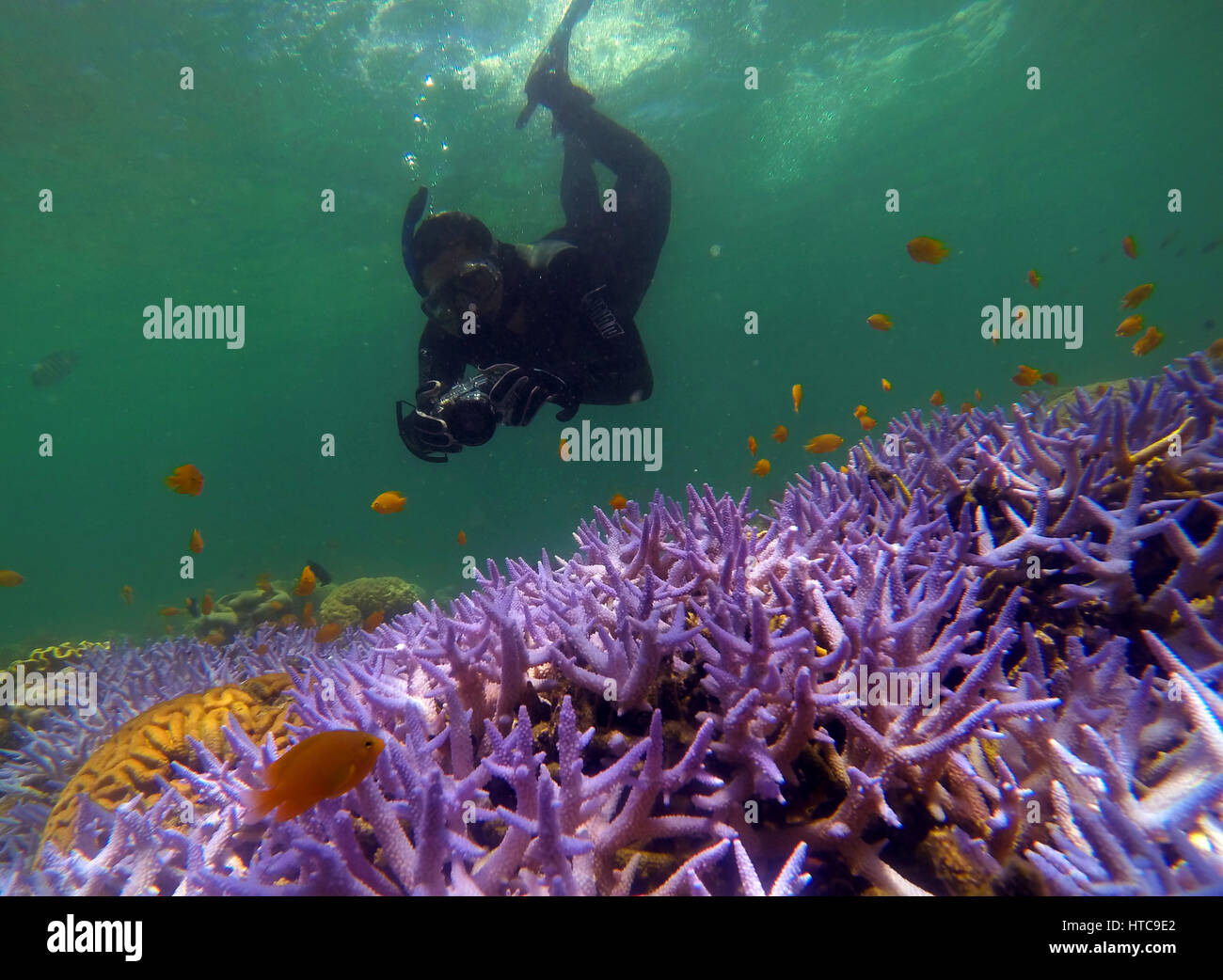 Snorkeller in stinger suit photographing fish and coral, Green Island, Great Barrier Reef Marine Park, near Cairns, - Stock Image