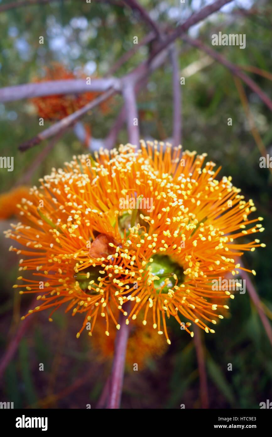 Spectacular orange flowers of the Northern Woollybutt (Eucalyptus chartaboma), Undara, north Queensland, Australia - Stock Image