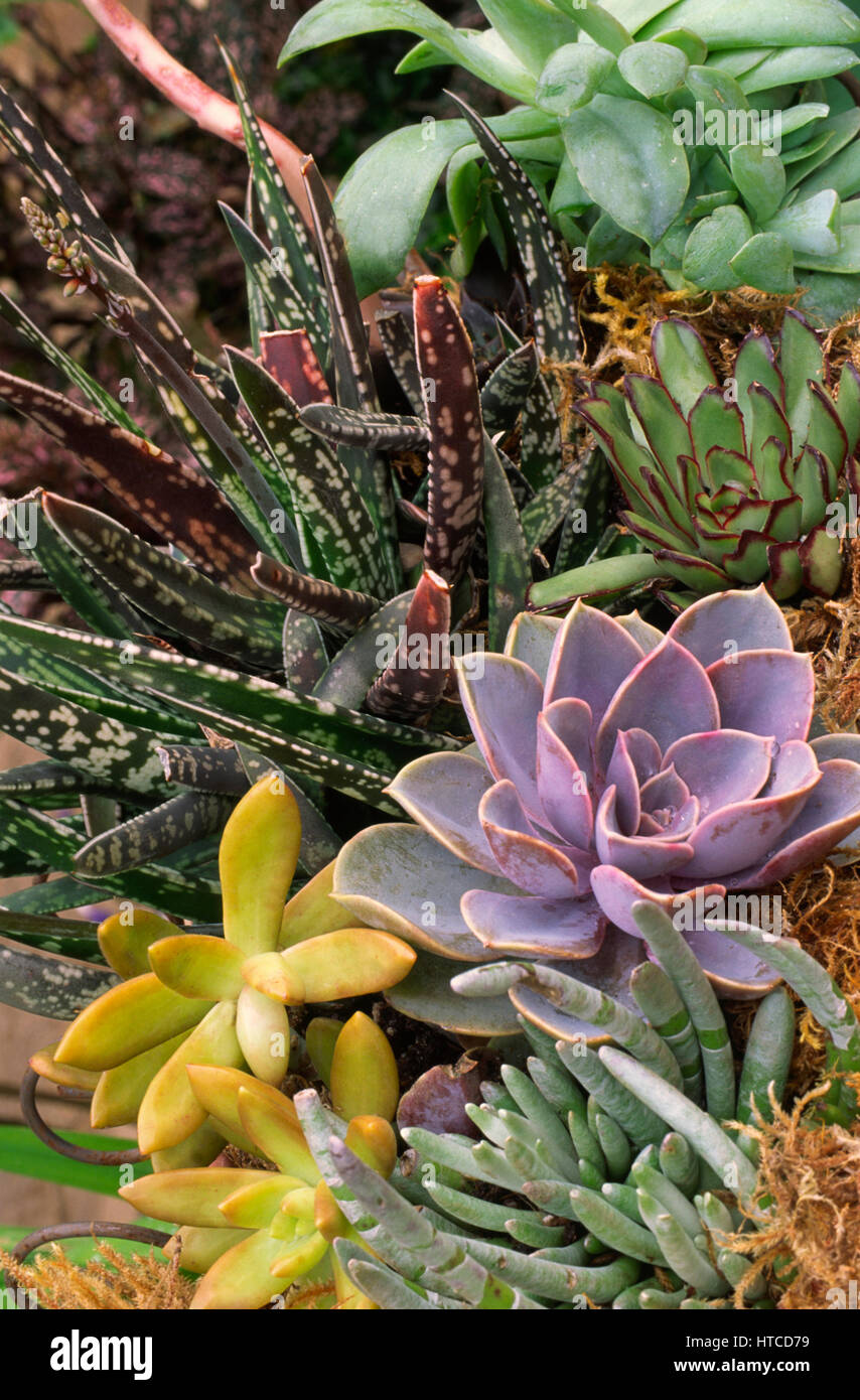 Succulent combination in planter, - Stock Image
