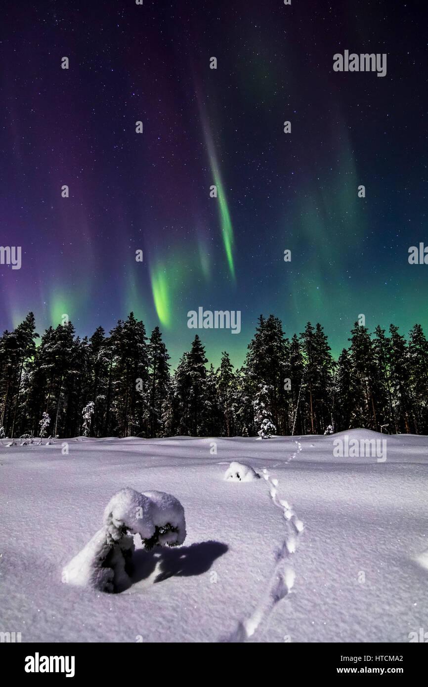 Fox tracks under the aurora - Stock Image