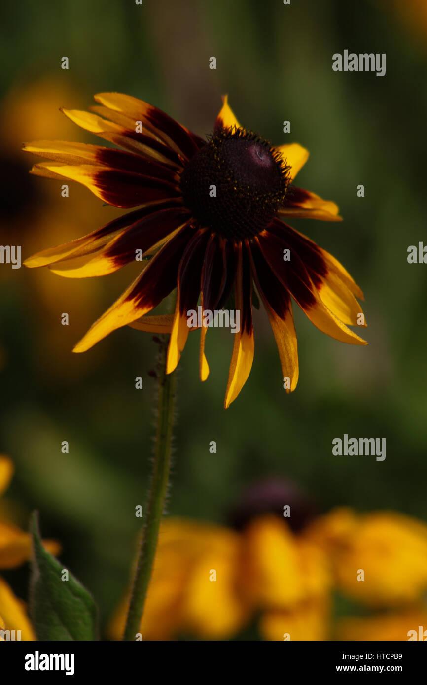 Gardens of Brasília, Brazil - Single Tricolor Daisy (Chrysanthemum carinatum) Stock Photo
