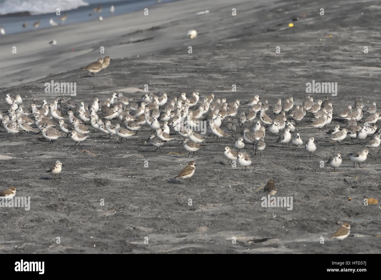 Sanderling (Calidris alba) - Stock Image