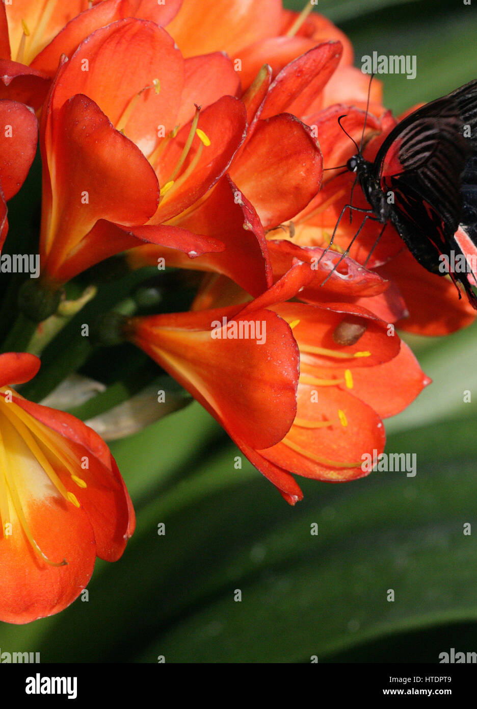 Papilio rumanzovia, black and red tropical butterfly feeding on flowers.Full frame. Colour contrast. Macro photography. - Stock Image