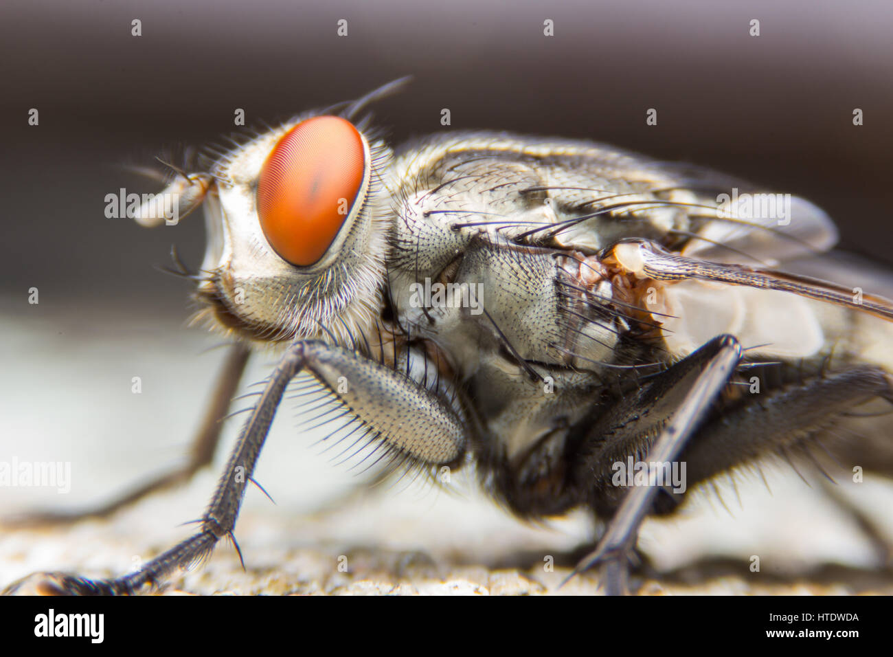 The House Fly dangerous carrier of pathogens. - Stock Image