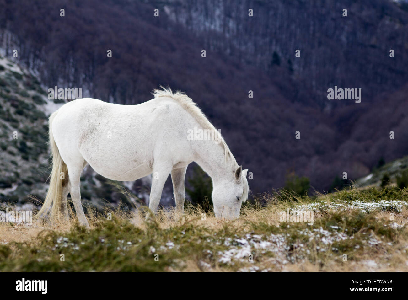 Wild white mustang horse, feeds of a snowy field - Stock Image