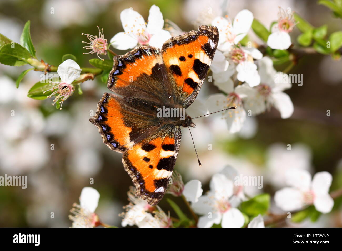 Small Tortoiseshell Butterfly nectaring on Spring blossom - Stock Image