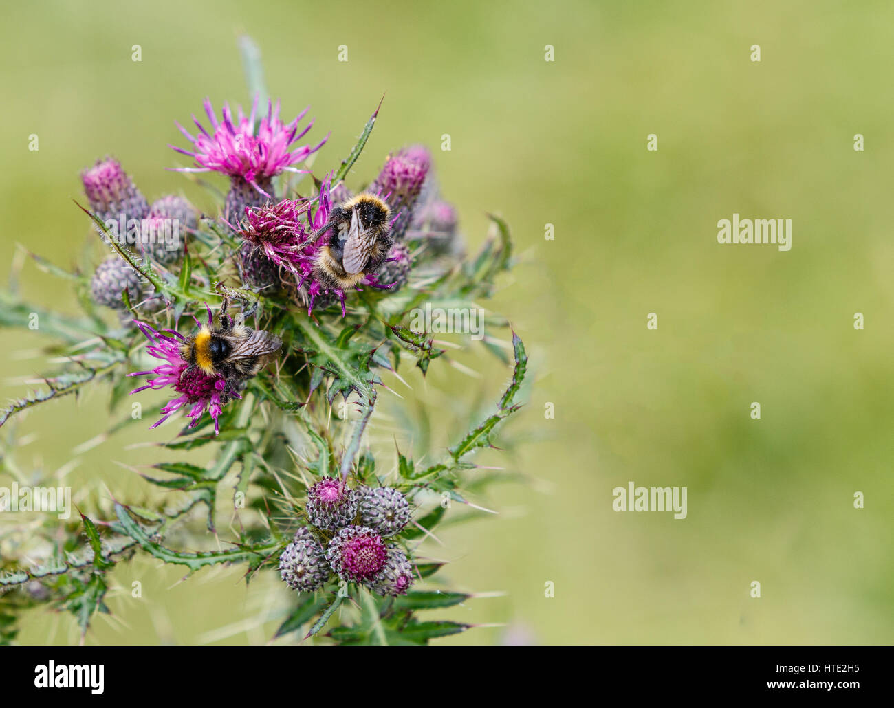 Bee feeding on a purple thistle against a green bokeh background. Selective focus with copyspace. - Stock Image