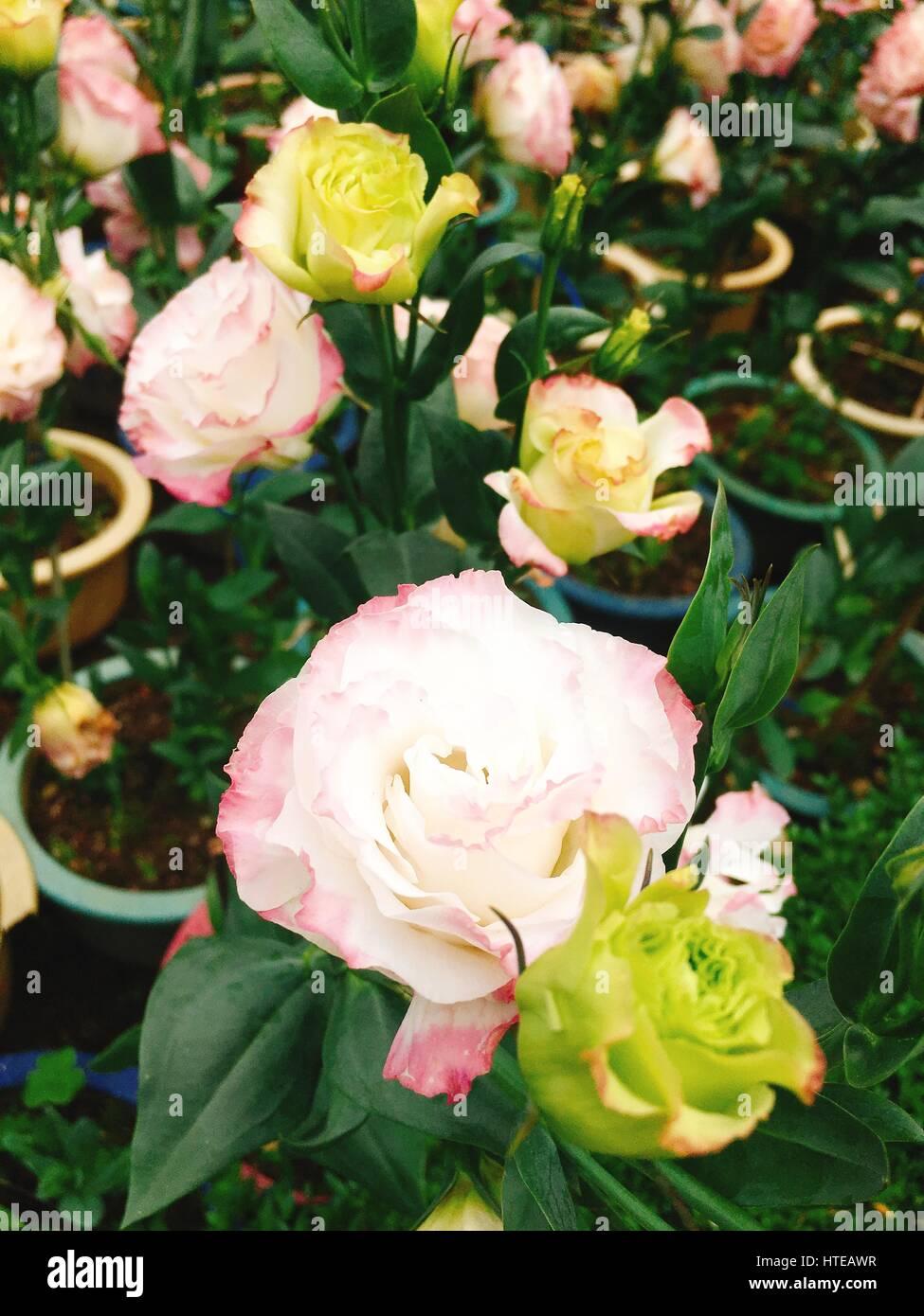 Prairie gentian or lisianthus flower - Stock Image