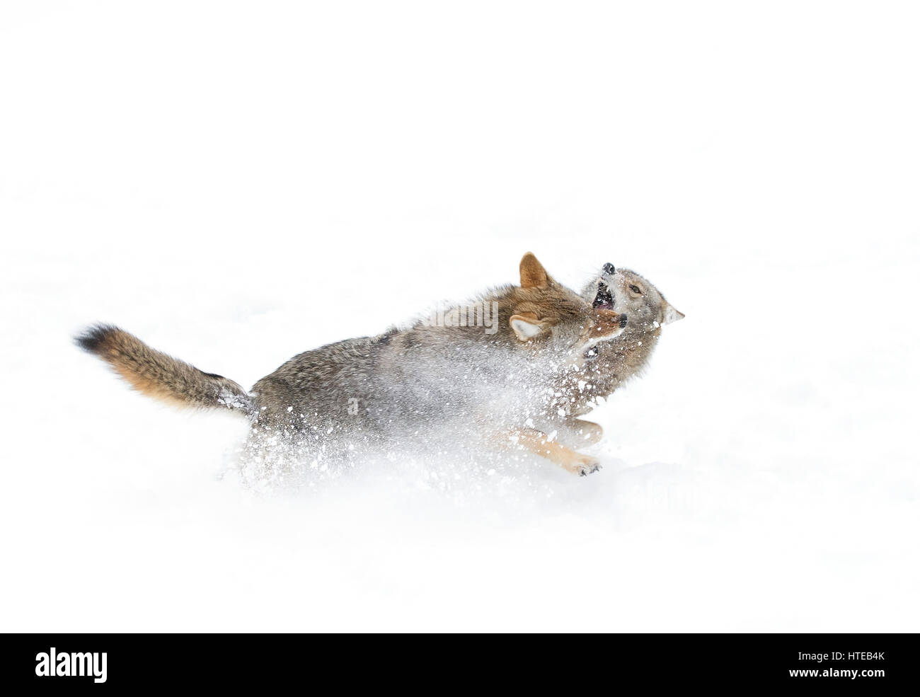 Two Coyotes (Canis latrans) isolated against a white background running and playing in the winter snow in Canada - Stock Image