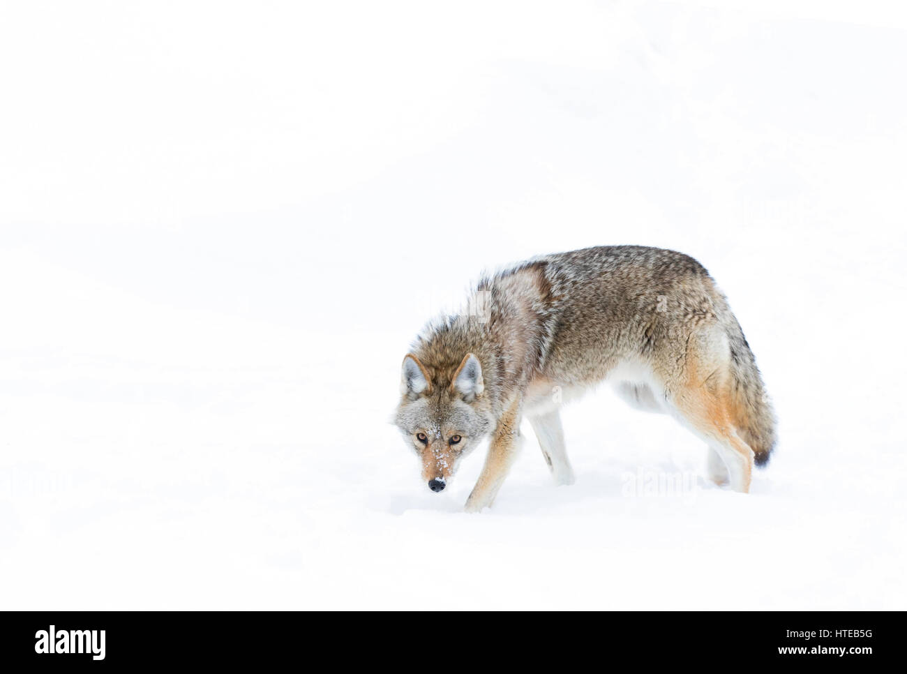 A lone coyote (Canis latrans) isolated against a white background standing in the winter snow in Canada - Stock Image