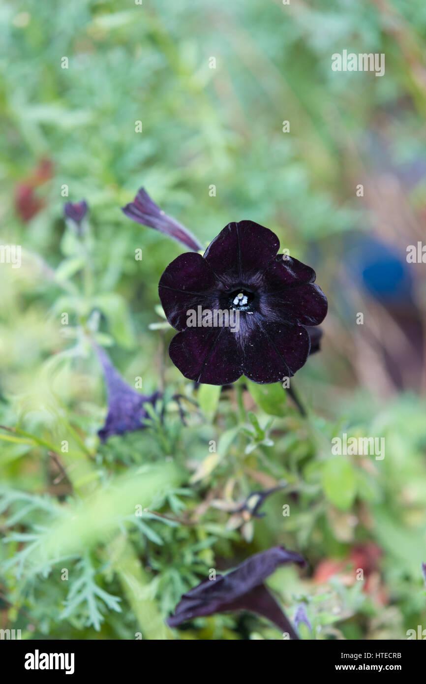 The black flower of the Black Velvet Petunia - Petunia x hybrida. Stock Photo