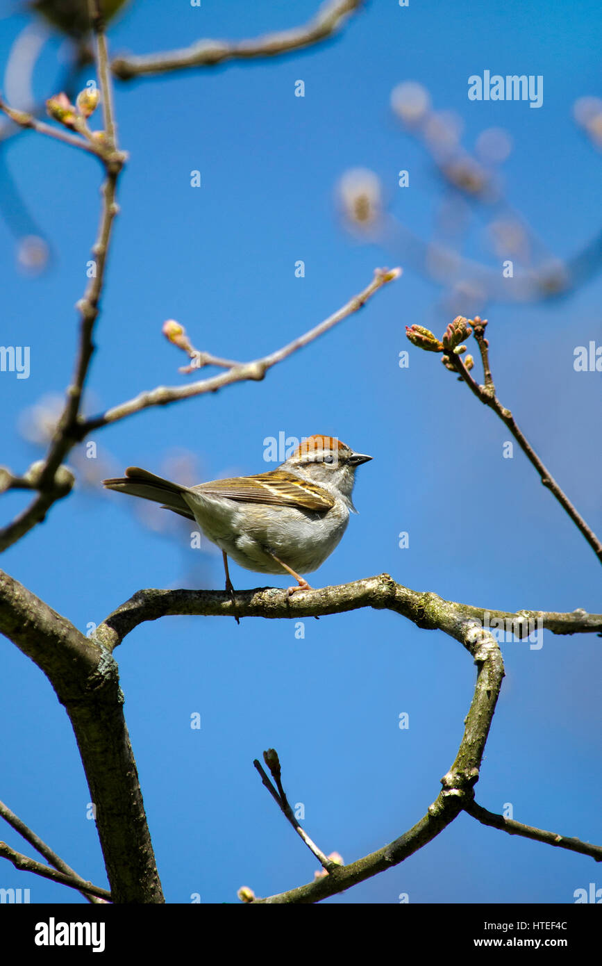 Chipping Sparrow bird portrait on perch in tree during spring season. - Stock Image