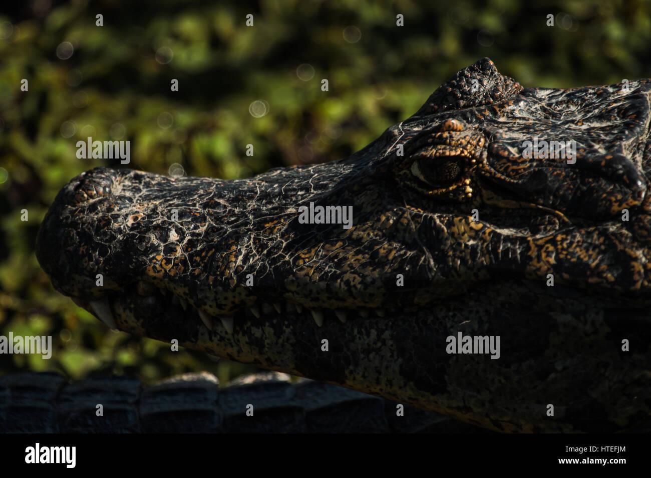 Broad-snouted caiman (Caiman latirostris) - crocodilian reptile - Travel: Pantanal - Mato Grosso - Brazil - Stock Image