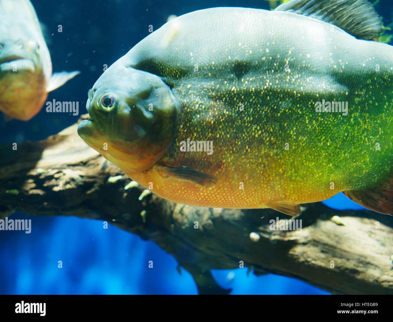 Natterer's Piranha or Red-bellied Piranha (Pygocentrus nattereri, Serrasalmus nattereri, Rooseveltiella nattereri) - Stock Image