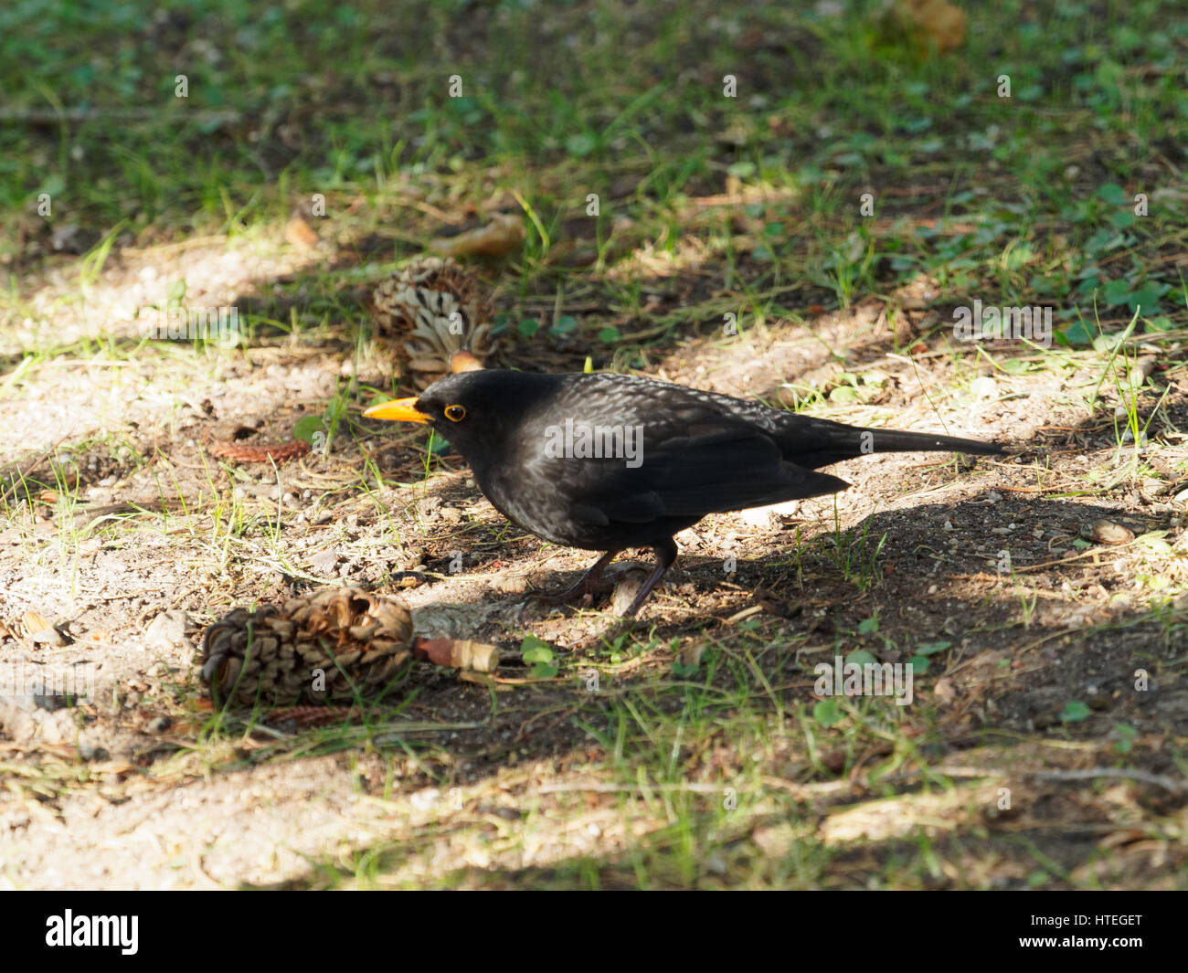 Blackbird (Turdus merula), France - Stock Image