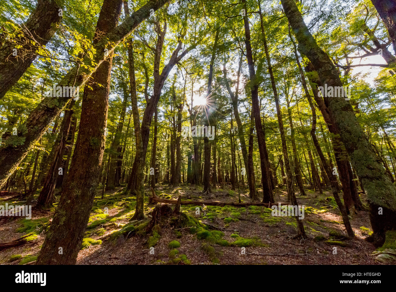 Sun shining through the trees, forest, Mount Aspiring National Park, Otago, Southland, New Zealand Stock Photo