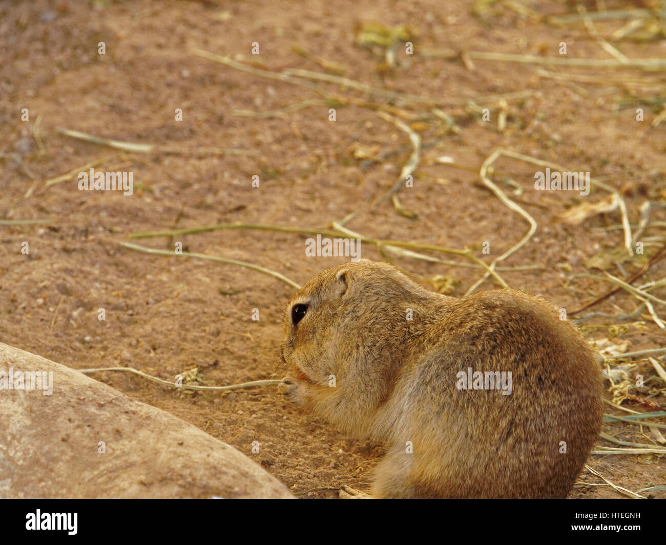 black-tailed prairie dog, Plains prairie dog (Cynomys ludovicianus), nibbling on a carrot - Stock Image