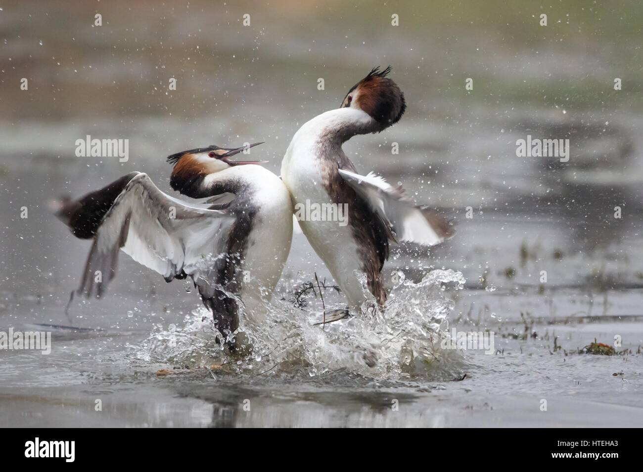 Great crested grebes (Podiceps cristatus) fighting, fight over territory, Hesse, Germany - Stock Image