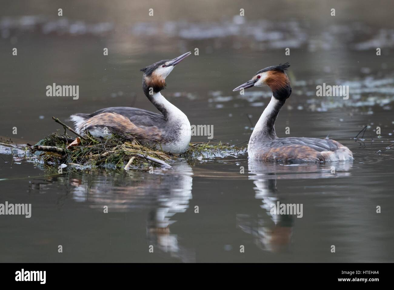 Courting Great Crested Grebes (Podiceps cristatus) at nest, Hesse, Germany - Stock Image