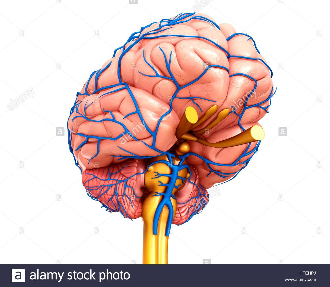 Illustration Anatomy Human Brain Veins Stock Photos & Illustration ...