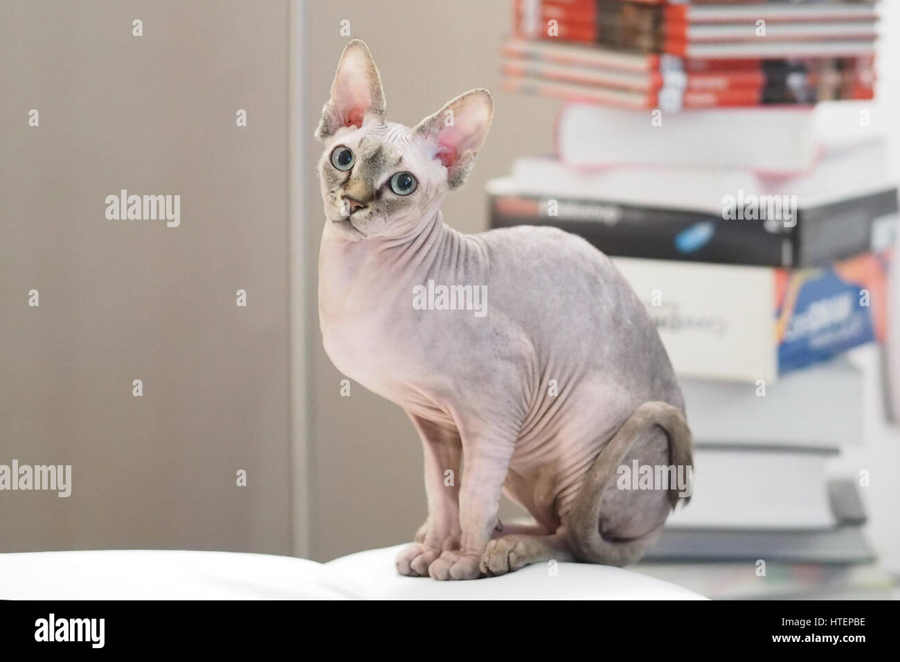 Sphinx cat at home alone - Stock Image