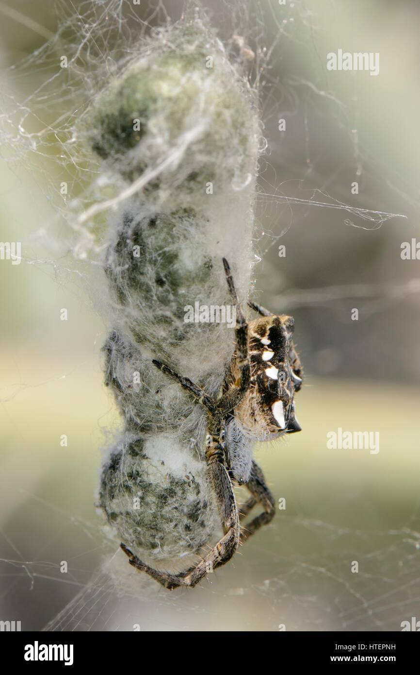 Female Tropical tent-web spider (Cyrtophora citricola) guarding a string of egg sacs within a communal web on a - Stock Image
