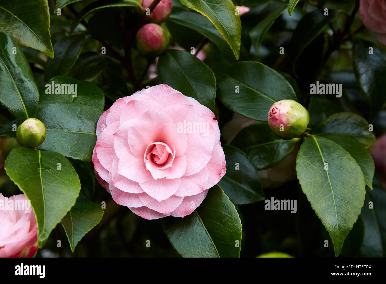 A Double Pink Camellia Flower With Unopened Buds Stock Photo