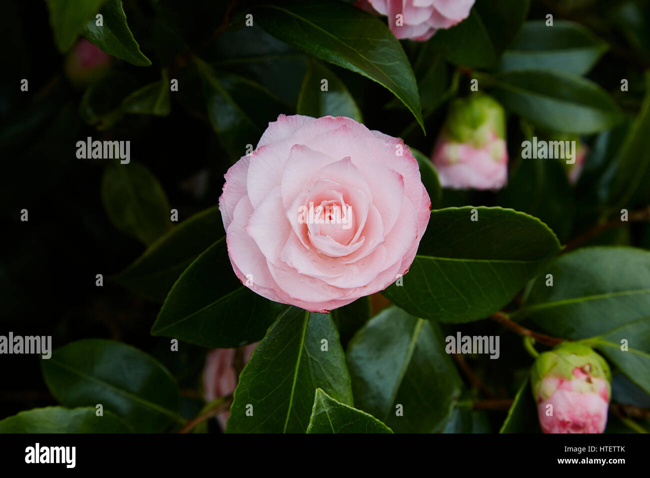 Double Pink Camellia Flower Stock Photos Double Pink Camellia