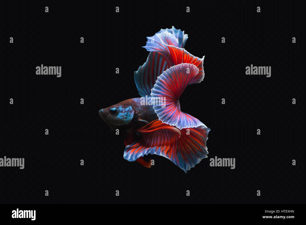 Thailand  fighting fish, isolated on black background. Capture the moving moment of siamese fighting fish. - Stock Image