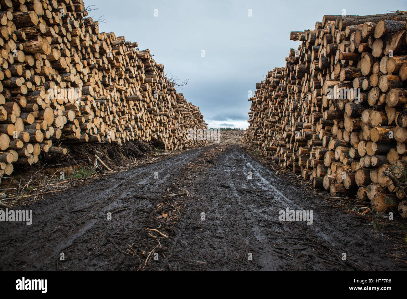 Large timber stacks sit at the road side ready for hauling, following forestry operations near Inverness in Scotland. - Stock Image